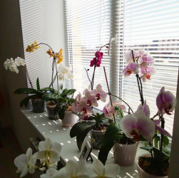 Поливаємо орхідею правильно (секрети моєї бабусі)