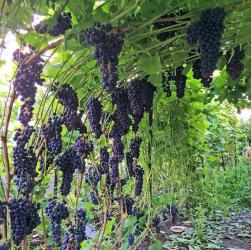 Секрети посадки винограду