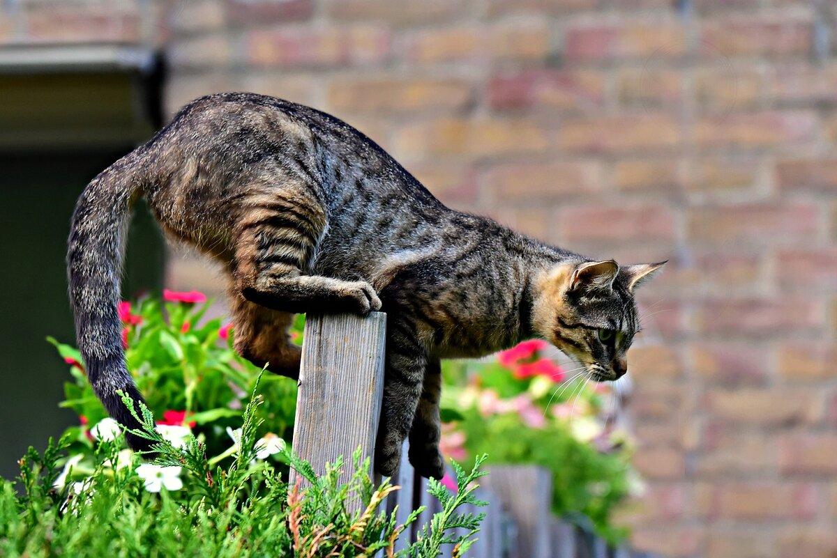 """Навіщо кішки виляють """"п'ятою точкою"""" і топчатся перед стрибком?"""