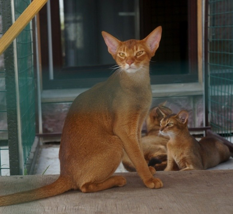 Абіссінські кішки