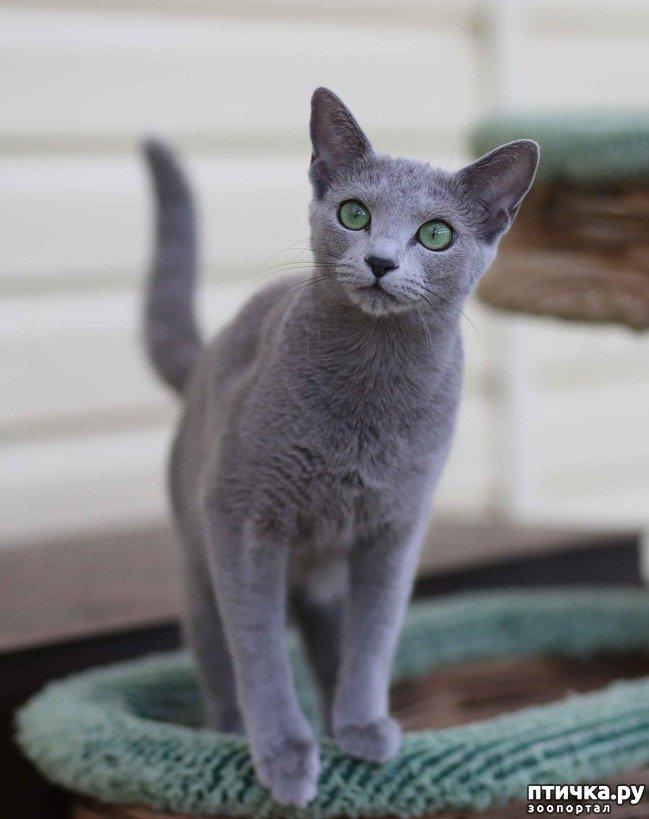 Сучасна російська блакитна кішка