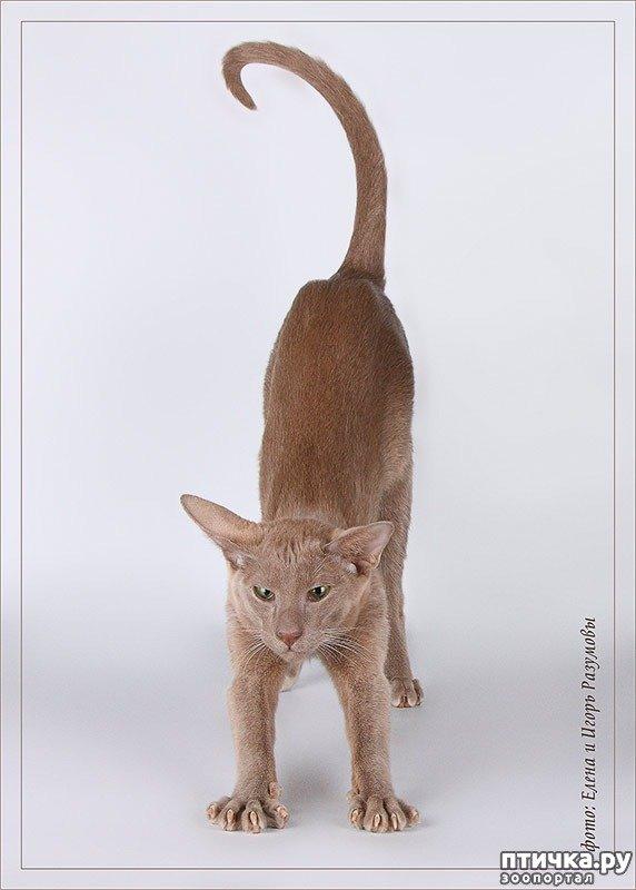 Лілові кішки — хто вони?