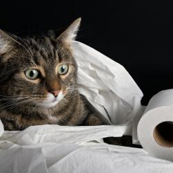 Як швидко привчити кота до унітазу!
