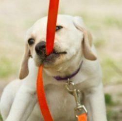 Як привчити собаку до повідця