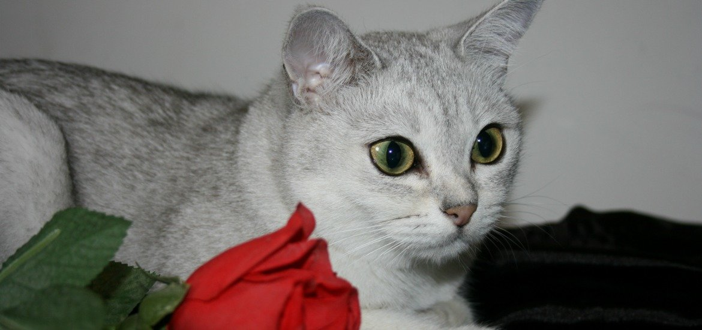 Бурмилла: кот-шиншила